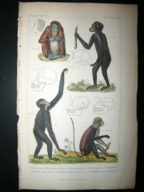 Cuvier C1835 Antique Hand Col Print. The Ourang Outang, The chimpanse, The Mona, 5